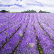 Snowshill Lavender Fields2 Thumbnail
